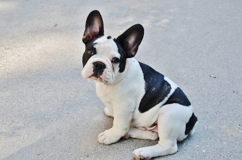 American French Bulldog