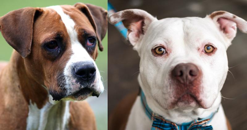 Bulldog vs. Pitbull