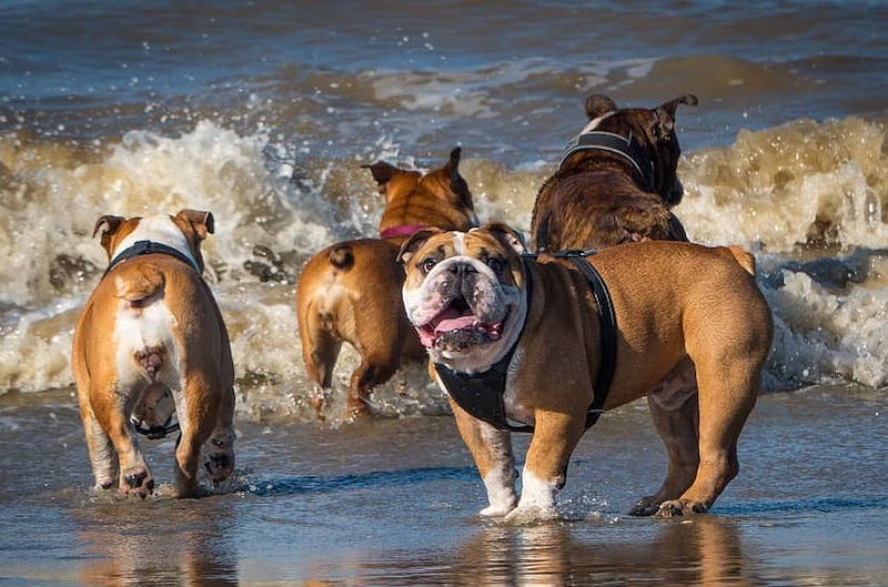 Four English Bulldogs Swimming at the Beach