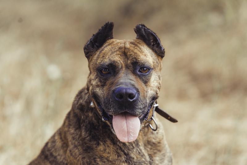 Spanish Bulldog (Alano Español)