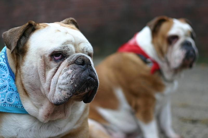 Popular Bulldog Breeds - Two English Bulldogs Sitting