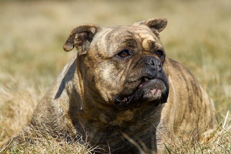 Titan Bulldogge