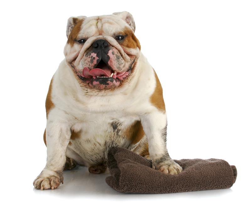 Dirty English Bulldog Ready for a Bath