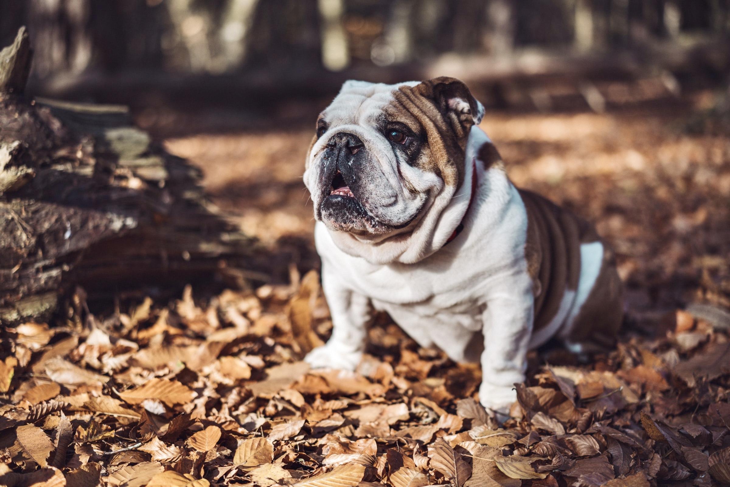 English Bulldog Alone