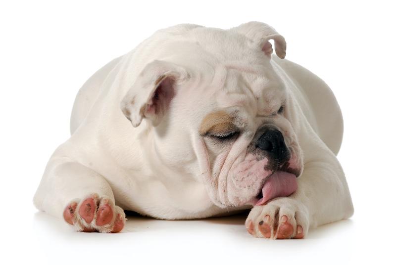 English Bulldog Licking Left Paw