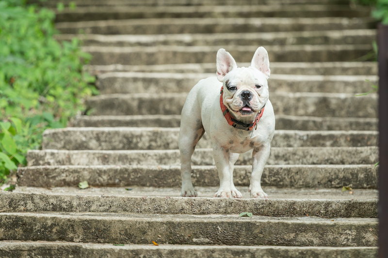 french bulldog on stairs