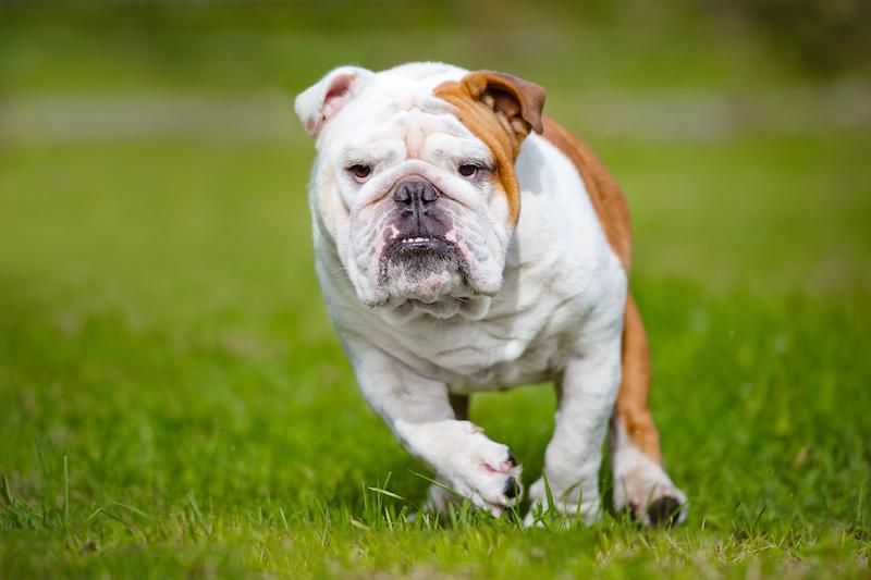happy english bulldog running outdoors